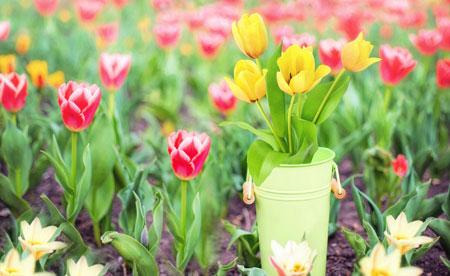 عکس زیبا شاخه گلهای لاله yellow red tulips