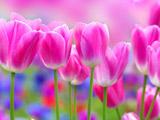 عکس گلهای لاله صورتی زیبا