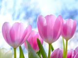 شاخه گلهای لاله صورتی
