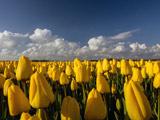 مزرعه گلهای لاله زرد
