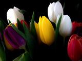 زیباترین شاخه گل های لاله رنگارنگ