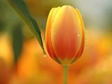 تک شاخه گل لاله زرد طلایی زیبا