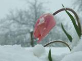 گل لاله صورتی زیر برف زمستانی