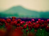 عکس دشت پر از گلهای لاله قرمز