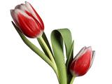 عکس شاخه گل لاله زیبا