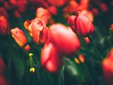 عکس با کیفیت از شاخه گلهای لاله