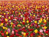 عکس دشت گل های لاله زیبا