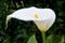 عکس گل شیپوری سفید