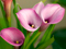 گل شیپوری بنفش روشن