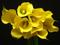 گل های زرد شیپوری