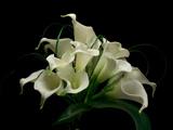 دسته گل شیپوری سفید زیبا