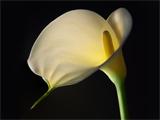 گل شیپوری اتیوپیایی
