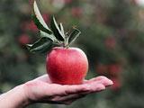 عکس سیب قرمز در دست