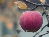 سیب قرمز روی درخت