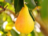 میوه گلابی رسیده روی درخت