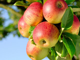 سیب روی شاخه درخت