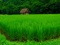طبیعت شالیزار سر سبز