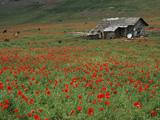 دشت گل شقایق شمال ایران