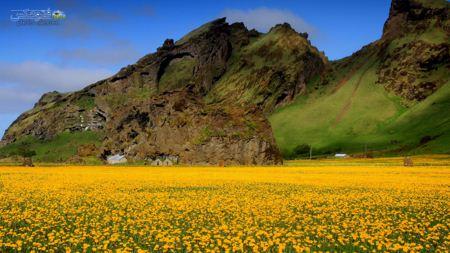 منظره دشت گل در دامنه کوه yellow flowers field