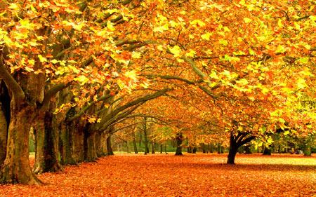 منظره طبیعت درختان پاییزی طلایی autumn golden trees