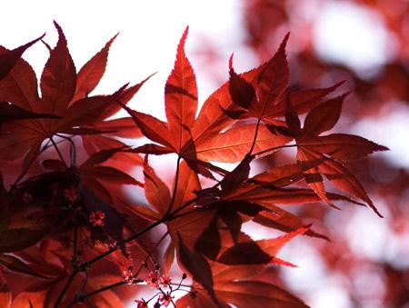 برگ های پاییز قرمز read leaves autumn