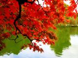 برگ های قرمز فصل پائیر