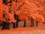 منظره درختان پاییزی نارنجی