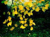 برگ های زرد پاییزی