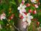 شکوفه بهاری درخت سیب