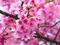 شکوفه های صورتی بهاری