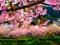 شکوفه بهاری درخت گیلاس