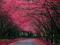 جاده شکوفه های درخت گیلاس