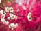 شکوفه های بهاری گیلاس