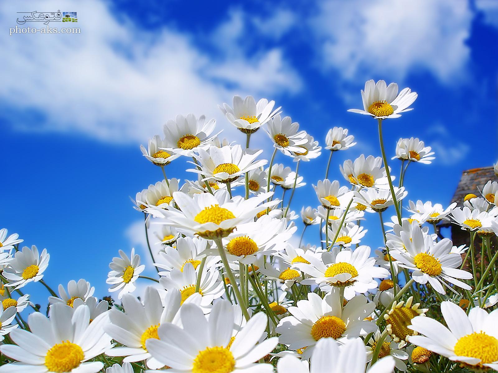 گل های سفید بهاری