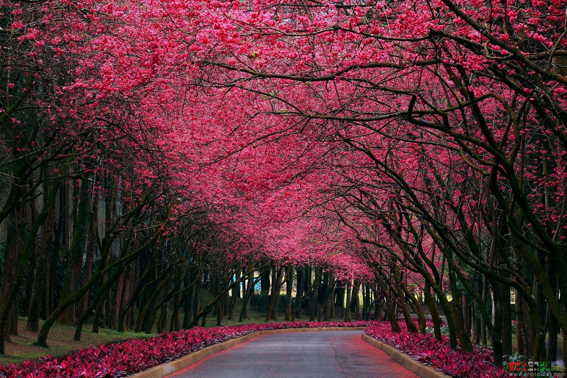 [تصویر: spring_road_cherry_blossom.jpg]