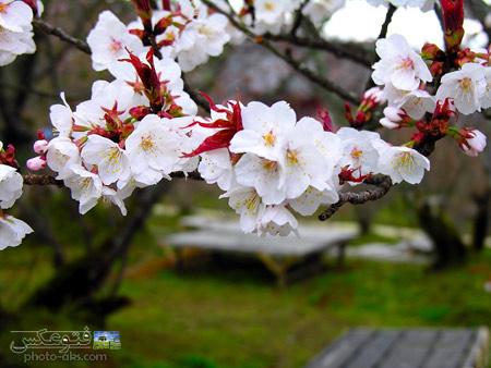 عکس شکوفه های بهاری aks golhaye bahari