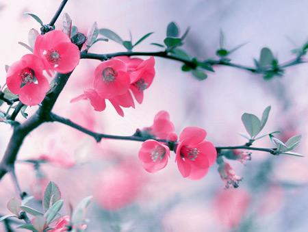 عکس شکوفه بهاری صورتی pink flowers blossom