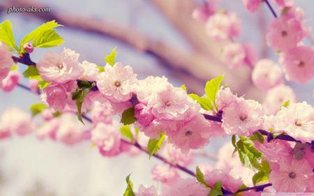 شکوفه های بهاری spring blossom