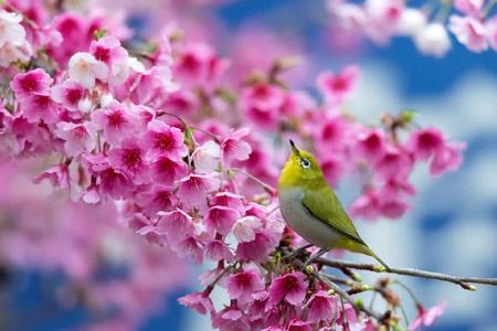 آواز پرنده در فصل بهار spring cherry branch