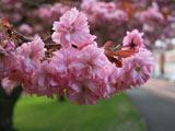 شکوفه صورتی درخت گیلاس