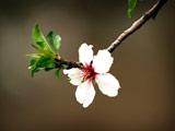 عکس شکوفه بهاری