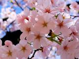 شکوفه های بهاری 2013