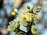 شکوفه درخت گیلاس در بهار