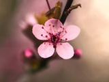 عکس شکوفه بهاری درخت گیلاس