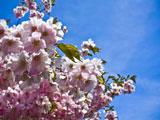 شکوفه صورتی و سفید بهاری