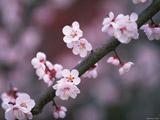شکوفه های بهاری شاخه درخت