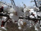 شکوفه سفید سال 92