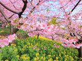شکوفه های بهاری صورتی