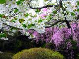 درختان پر از شکوفه بهاری