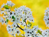 گل های بهاری سفید درختان